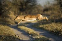 Impala Leaping in Savuti Marsh, Chobe National Park, Botswana von Danita Delimont