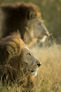 Male Lions at Dawn, Moremi Game Reserve, Botswana by Danita Delimont