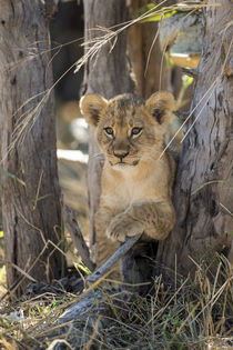 Lion Cub in Savuti Marsh, Chobe National Park, Botswana by Danita Delimont