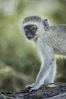 Vervet Monkey, Moremi Game Reserve, Botswana by Danita Delimont
