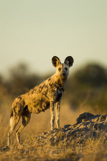 Wild Dog at Dawn, Moremi Game Reserve, Botswana by Danita Delimont