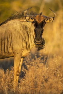 Wildebeest at Dawn, Chobe National Park, Botswana von Danita Delimont