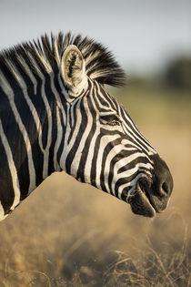 Plains Zebra, Moremi Game Reserve, Botswana by Danita Delimont