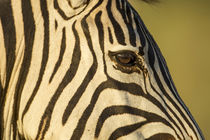 Plains Zebra Eye, Moremi Game Reserve, Botswana by Danita Delimont