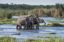 Okavango Delta, family of elephants crossing river by Danita Delimont