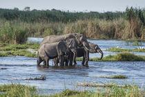 Okavango Delta, family of elephants crossing river von Danita Delimont