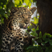 leopard juvenile portrait in tree and leaves von Danita Delimont