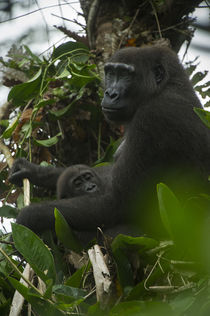 Western lowland gorilla by Danita Delimont