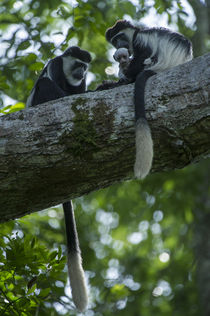 Guereza colobus monkey by Danita Delimont