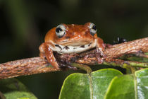 Tree frog by Danita Delimont