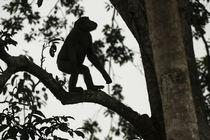 Western lowland gorilla von Danita Delimont