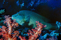 Humphead wrasse with soft corals at Elphinstone Reef, Red Sea, Egypt by Danita Delimont