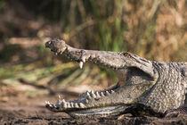 Nile Crocodile,Crocodile Market, Ethiopia by Danita Delimont