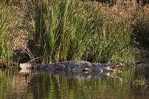 Nile Crocodile,Crocodile Market, Ethiopia von Danita Delimont