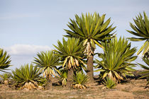 Giant Lobelia, Bale Mts, Ethiopia by Danita Delimont