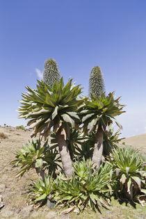 Ethiopian Giant Lobelia von Danita Delimont