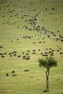 Kenya, Masai Mara National Reserve, thousands of wildebeest ... by Danita Delimont