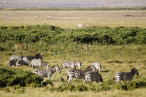 Kenya, Amboseli National Park, group of zebras by Danita Delimont