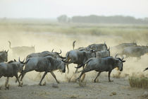 Kenya, Amboseli National Park, wildebeest running in the dus... by Danita Delimont