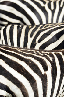 Kenya, Amboseli National Park, close up on zebra stripes by Danita Delimont