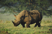 Kenya, Lake Nakuru National Park, White Rhinoceros or Square... by Danita Delimont