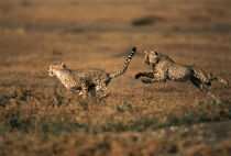 Kenya, Maasai Mara, Pair of cheetahs running . by Danita Delimont