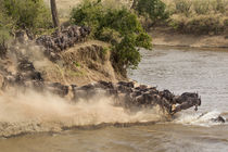 Wildebeest or gnu herd crossing Mara River in late summer, M... by Danita Delimont