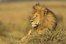 Adult male lion resting on termite mound, Masai Mara, Kenya,... by Danita Delimont
