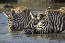 Trio of Burchell's zebras drinking at sunrise, Masai Mara, K... by Danita Delimont