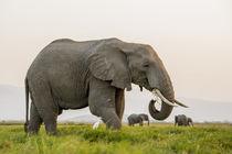 Africa, Kenya, Amboseli National Park, elephant von Danita Delimont