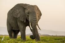 East Africa, Kenya, Amboseli National Park, elephant von Danita Delimont