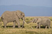 East Africa, Kenya, Amboseli National Park, elephant by Danita Delimont