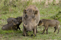 Three warthog piglets suckle on their mother, Masai Mara, Kenya von Danita Delimont