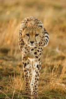 Cheetah portrait, Masai Mara, Kenya von Danita Delimont