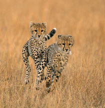 Young cheetahs running in the grass, Masai Mara, Kenya by Danita Delimont