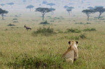 Young male lion watches and stalks a Topi running the distan... by Danita Delimont