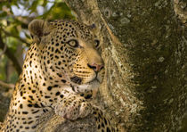 Adult Leopard rests in a sausage tree after feeding, Masai Mara, Kenya by Danita Delimont