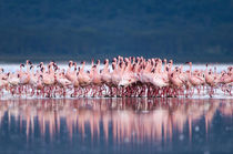 Large group of Lesser Flamingos performing the 'Flamingo Bal... von Danita Delimont