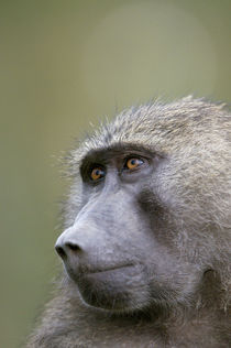 Portrait of adult Olive baboon wet from rain, Lake Nakuru, Kenya. von Danita Delimont