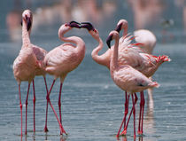 Two male Lesser flamingos compete for a female by snapping t... by Danita Delimont