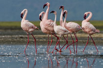 Male lesser flamingos follow a female to compete for her att... von Danita Delimont