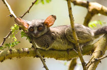 The Senegal Bushbaby, Lake Naivasha, Kenya by Danita Delimont