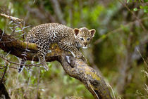 Three month old Leopard cub, Masai Mara, Kenya by Danita Delimont