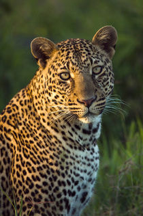 Male leopard full-grown cub portrait, Masai Mara, Kenya by Danita Delimont