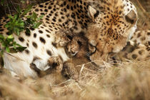 Cheetah grooming one-day old cubs by Danita Delimont