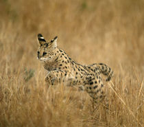 Serval jumping in long grass, Masai Mara, Kenya by Danita Delimont