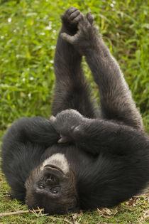 Africa, Kenya, Amboseli National Park, Chimpanzee, captive o... by Danita Delimont