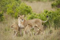 Africa, Kenya, Upper Masai Mara Game Reserve, African Lion, ... by Danita Delimont