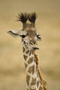 Africa, Kenya, Masai Mara GR, Upper Mara, Masai Giraffe, Gir... von Danita Delimont