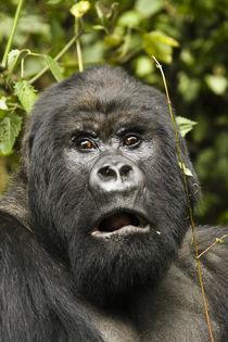 Africa, Kenya, Volcanoes NP, Mountain Gorilla, Gorilla berin... by Danita Delimont